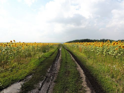 road after the rain sunflower