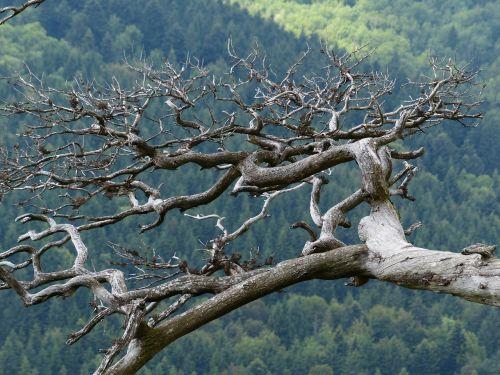branch gnarled old