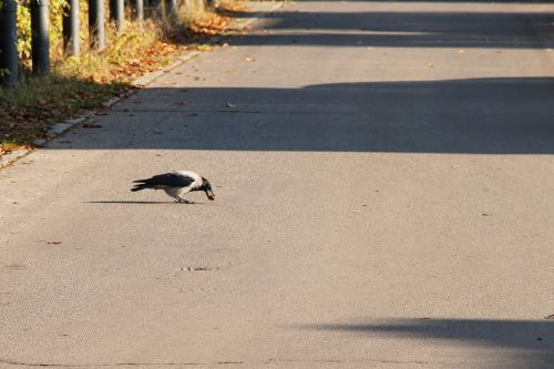 road crow nut