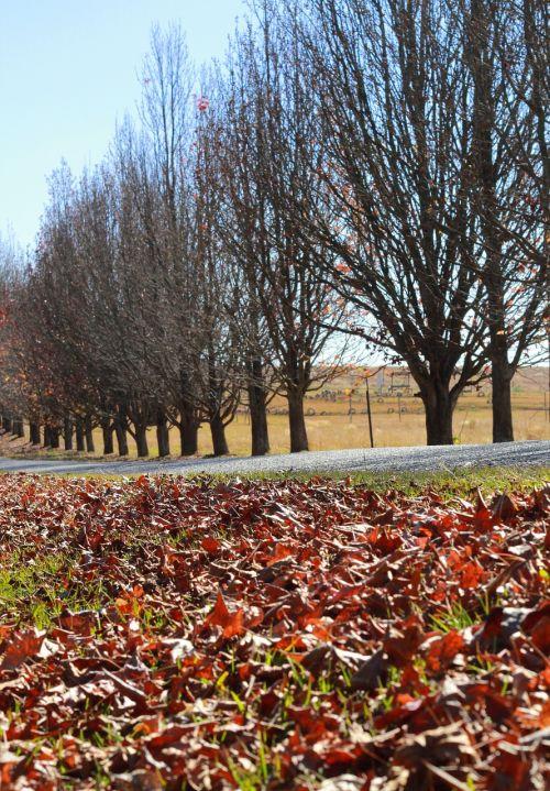 kelias,rudens lapai,mirę medžiai,medžiai,ruduo