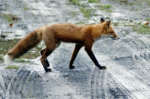 road fox red
