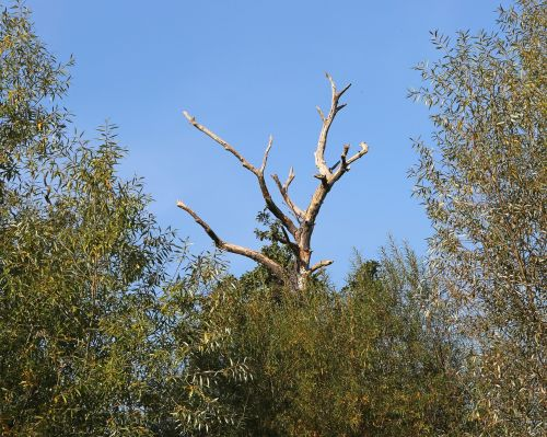 branch tree kahl
