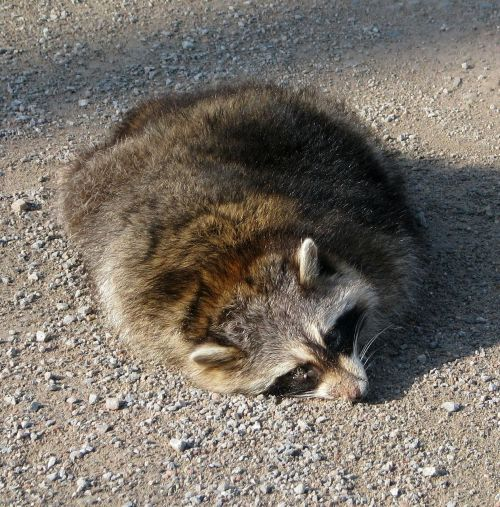 roadkill common raccoon north american raccoon