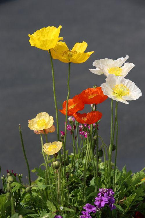 roadside flower color