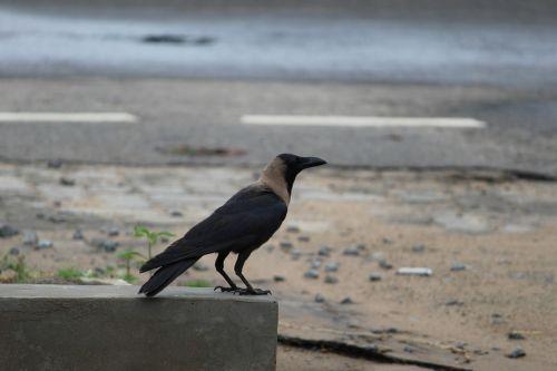 roadside crow alone