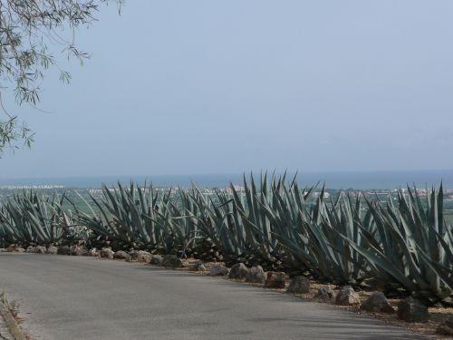 roadside spain cactus