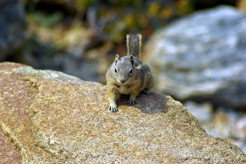 roaring river ground squirrel  ground  squirrel
