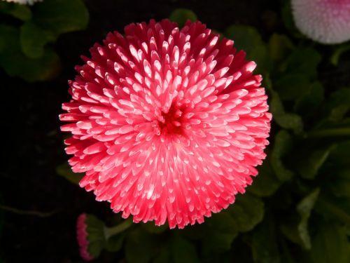 rob roy daisy red