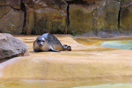 robbe marine mammals animal world