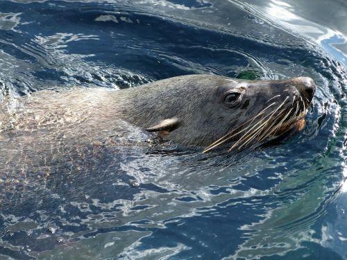 robbe fur seal arctocephalinae otariidae family of eared seal