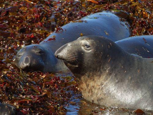robbe seal meeresbewohner