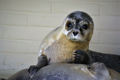 robbe  seal  howler