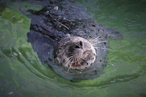 robbe  seal  mammal