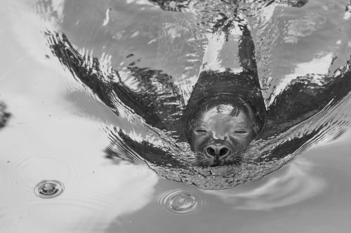 robbe sea lion seal
