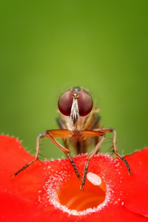 robberfly fly insect