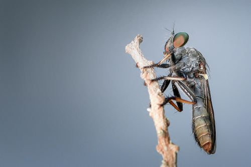 robberfly insect macro