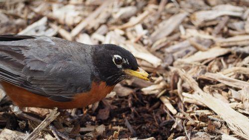 robin eating bird