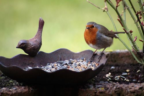 robin bird bird seed