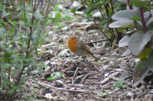 robin red robin bird