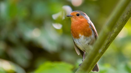 robin bird red