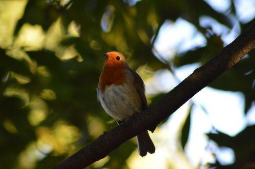 robin bird red robin