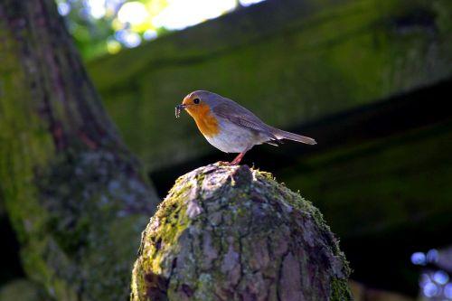 robin bird worm