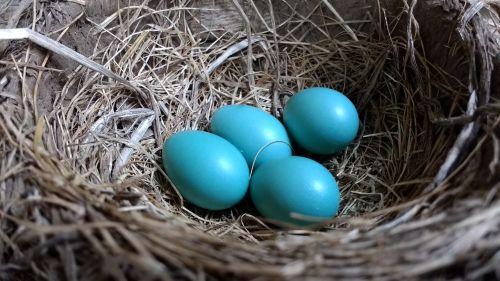 robin robin eggs nest