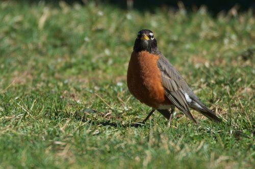 robin bird birding