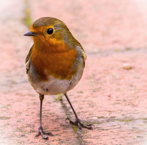 robin redbreast bird
