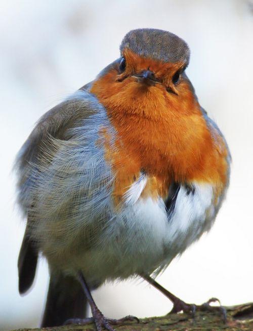 robin grumpy fluffed