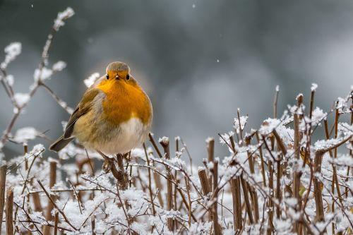 robin winter songbird