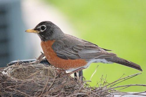 robin  bird  wildlife