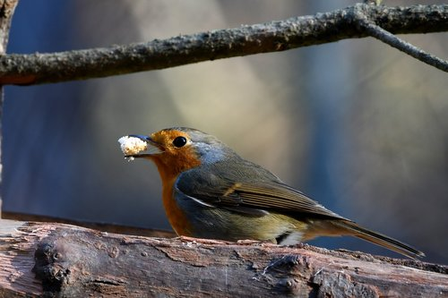 robin  forest  crumb
