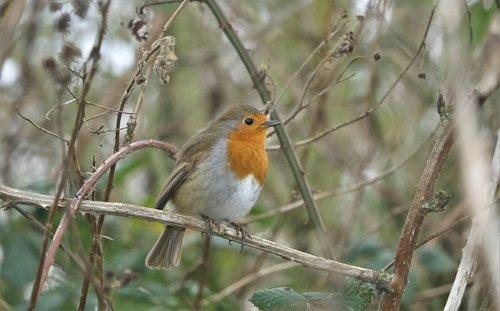 robin  wildlife  bird