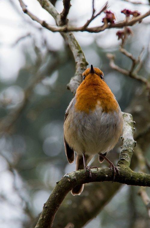 robin  bird  winter
