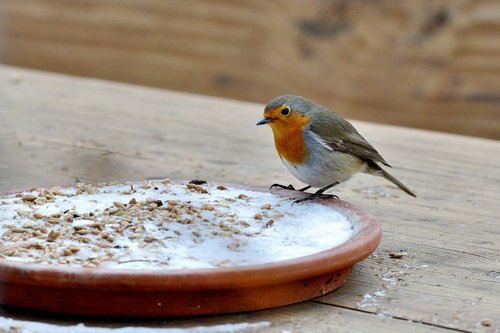 robin  bird  winter