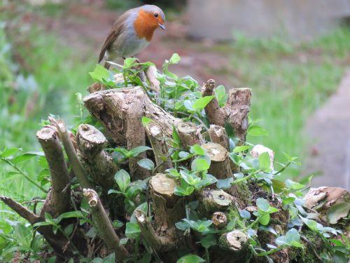 robin erithacus rubecula bird