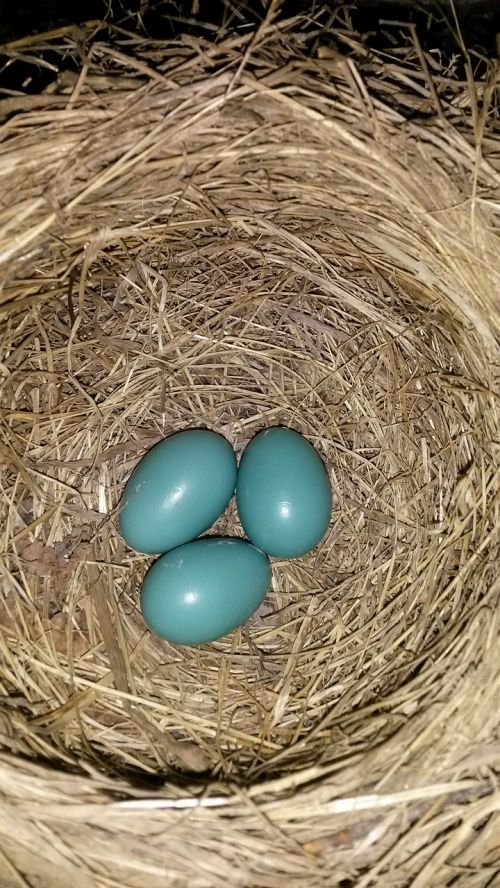 robin eggs nest
