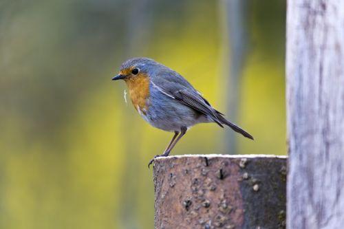 robin bird songbird