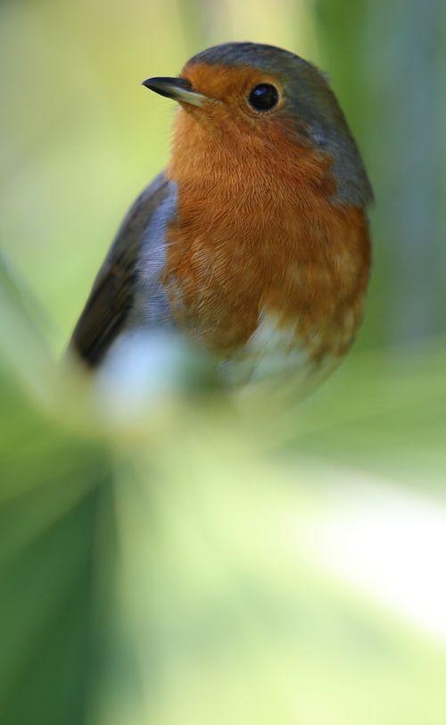 robin bird redbreast