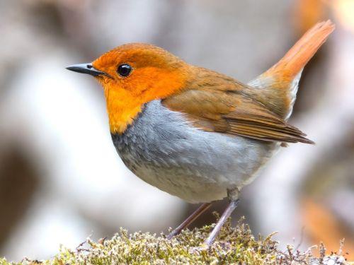robin bird japanese robin