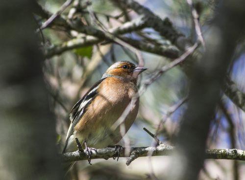 robin bird nature