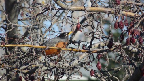 robin eating berries nature tree branches