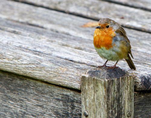 Robin In Close-up