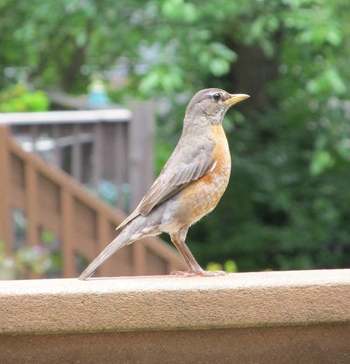 Robin Profile