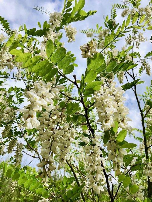 robinia  bloom  flourished