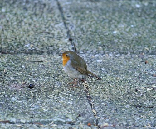 robins bird small birds