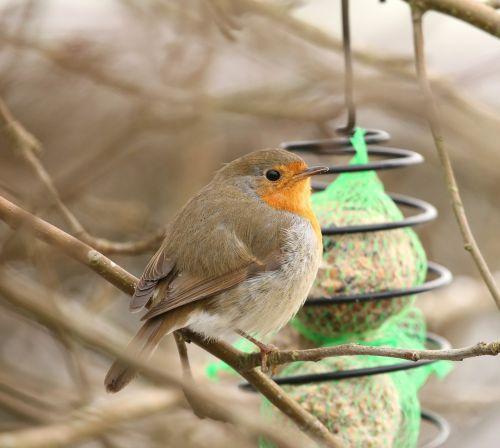 robins bird erithacus rubecula