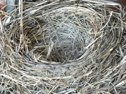 robin's nest,nest,empty,empty nest,bird,nature,fledgling,wildlife,nesting,spring