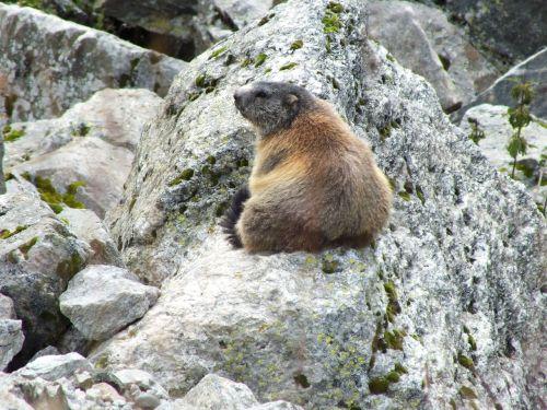 marmot rock switzerland